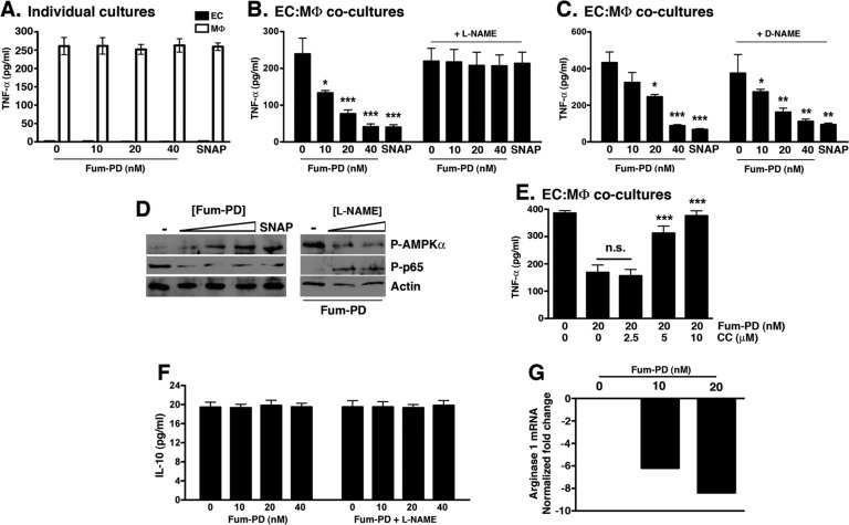 Fum-PD-induced NO indirectly suppresses MΦ inflammatory response in vitro . (A) Fum-PD had no direct effect on the release of TNF-α from MΦ. The experiment was repeated three times with similar results. (B, C) Fum-PD dose-dependently suppressed TNF-α release from EC–MΦ cocultures. The effect was reversed by l -NAME (20 μM), but not the inactive isomer d -NAME (20 μM). Values represent mean ± SEM of triplicate samples derived from three independent experiments. (D) EC–MΦ cocultures were exposed to Fum-PD (0–40 nM) or SNAP (25 μg/mL) without or with l -NAME (0–20 μM) and harvested at 48 h, and cell lysates were probed for phospho (P)-AMPKα, AMPKα, phospho (P)-p65, and p65. (E) EC–MΦ cocultures were exposed to Fum-PD (20 nM) without or with compound C (CC) at the indicated concentration. Supernatants were harvested and analyzed for TNF-α. The experiment is representative of two independent experiments with similar results. (F) EC–MΦ cocultures were exposed to Fum-PD without or with l -NAME (20 μM), and 48 h supernatants were assayed for IL-10. (G) RNA obtained from cocultures was analyzed by real-time PCR for expression of arginase 1, an M2 marker. * p