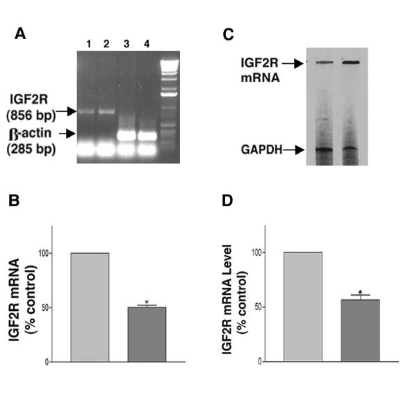 Effect of the ribozyme on M6P/IGF2R mRNA in cardiac myocytes. ( A ) A representative RT-PCR result showing the levels of M6P/IGF2R mRNA (lanes 1 and 2) and the corresponding amounts of β-actin mRNA (lanes 3 and 4) in the ribozyme-treated myocytes (lane 1, lane 3) and in the control cells (lane 2, lane 4). ( B ) Bar chart showing percent change in M6P/IGF2R mRNA of the ribozyme-treated cells relative to the mRNA fraction in the control cells (normalized to β-actin). The data are average ± SE of at least three independent experiments (*, P