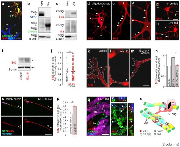 JZL184 alters Slit2 expression and localization in oligodendrocytes. ( a ) Oligodendrocytes ( solid arrowheads ), but not astrocytes, ( open arrowheads ) contained Slit2. ( b ) GFAP and CNPase were used to validate the purity of isolated astrocytes and oligodendrocytes, respectively. ( c ) Oligodendrocytes, but not astrocytes, contained mature Slit2. An additional antibody raised against a phylogenetically conserved epitope of Drosophila Slit confirmed this finding ( Slit ). ( d-f ) Slit2-like immunoreactivity localized to oligodendrocyte somas ( s ) and processes. Membranous staining pattern is shown in both e and f ( arrowheads ). Asterisks (*) indicate location of the nucleus. ( g,h ) Oligodendrocyte differentiation and increased Slit2 immunoreactivity, particularly in end-feet ( arrowheads ), upon JZL184 exposure. ( i ) Slit2 protein content in oligodendrocytes after JZL184 treatment. ( j ) JZL184-induced Slit2 accumulation in oligodendrocyte end-feet as measured by quantitative morphometry. ( k-k ) Effect of AM630, a CB 2 R antagonist, on JZL184-induced Slit2 accumulation in oligodendrocyte end-feet ( open and closed arrowheads ). ( o,p ) The effect of siRNA-mediated MGL inhibition on Slit2 expression in end-feet ( arrowheads ). ( q ) CNPase + oligodendroglial end-feet in the interbundle space (ibs) and in apposition to enlarged fascicles of Robo1 + corticofugal axons (cfa) in JZL184-treated mouse embryos. ( r ) Three-dimensional reconstruction of Slit2 in oligodendrocyte end-feet ( arrowheads ) adjacent to corticofugal axons. ( s ) Schematic of JZL184-induced remodeling of axonal pathfinding upon premature oligodendrocyte differentiation. Data were expressed as means ± s.e.m., n = 8 - 32 cells/group for each condition in duplicate experiments; * p