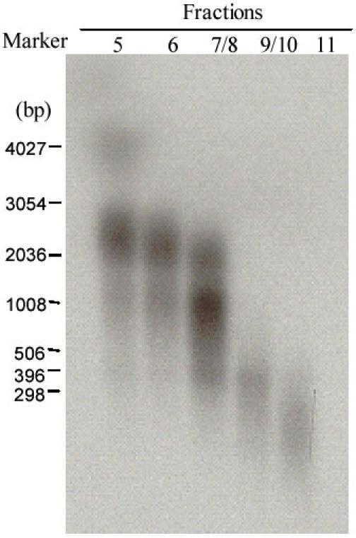 Size of cDNA synthesised from mRNA isolated from protoscoleces of E. granulosus . After the second-strand cDNA was synthesised by adding 2μl of [α-32P] dATP to the reaction, the cDNA was fractioned through a CL-2B column after being linked with EcoR I adapters and digested with <t>Xho</t> I to create an Xho I cut end. Fractions 5 to 11 (1μl of elution) were run on an agarose gel and exposed for 4 h to an X-ray film before being developed. Standard RNA markers, in nucleotides are shown on the left hand of the figure.