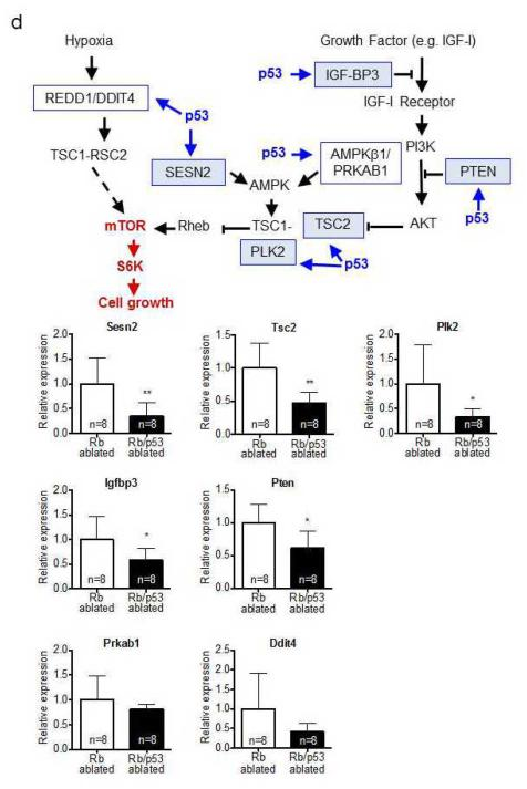 p53 loss results in mTOR pathway activation in Rb deficient MTC Activated, phosphorylated forms of S6 kinase (p-S6K), AKT (p-AKT) and MEK (p-MEK1/2) as well as corresponding total protein levels (S6K, AKT and MEK-1) were compared between Rb and Rb/p53 ablated thyroid tumors by Western blot analysis. (a) p-S6K was significantly increased in Rb/p53 as compared to Rb ablated tumors despite similar total S6K levels. (b) p-AKT and total AKT levels were similar in Rb and Rb/p53 ablated tumors. (c) p-MEK was significantly decreased in Rb/p53 as compared to Rb ablated tumors despite similar total MEK levels. Quantification is represented as relative densitometric values of phosphorylated:total protein ratios. (d) p53 loss in Rb deficient MTC results in decreased expression of mTOR pathway inhibitors. Schematic diagram illustrating previously identified p53 target genes (blue outlined boxes) known to repress mTOR signaling. Activation is indicated in blue and suppression in red. Quantitative RT-PCR showed significantly reduced expression of Sesn2, Tsc2, Plk2, Igfbp3 and Pten (blue shaded boxes), but not Ddit4 and Prkab1 (unshaded boxes), in Rb/p53 as compared to Rb ablated MTC. Data are represented as mean ± SD. *p