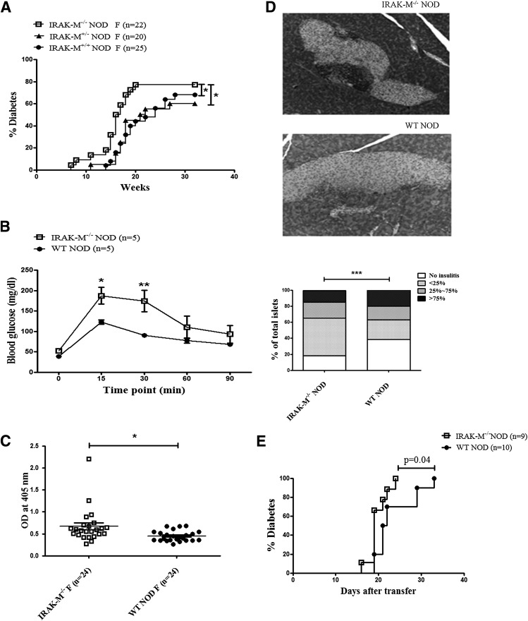 IRAK-M deficiency promotes the development of T1DM in NOD mice. A : Diabetes incidence in female IRAK-M −/− NOD and IRAK-M +/− NOD mice, and their WT NOD littermates. Statistical analysis was performed by Gehan-Breslow-Wilcoxon test. B : An intraperitoneal glucose tolerance test was performed in ∼12-week-old female IRAK-M −/− NOD and WT NOD mice that were fasted overnight with free access to water. Blood glucose was measured at the indicated time points after glucose injection (2 g/kg body weight i.p.; n = 5 mice/group), and data were analyzed by two-way ANOVA. C : Serum anti-insulin IgG was measured in serum samples of 12-week-old nondiabetic female IRAK-M −/− NOD and WT NOD mice by ELISA ( n = 24/group). Data are presented as an optical density (OD) of 405 nm and were analyzed by Student t test. D : Histology of islet infiltration in 12-week-old nondiabetic female IRAK-M −/− NOD and WT NOD mice. Hematoxylin-eosin staining of the pancreas showed more immune cell infiltration in islets of IRAK-M −/− NOD mice compared with the control mice (top). Insulitis was quantified using the following scoring system: 0, no insulitis; 1,