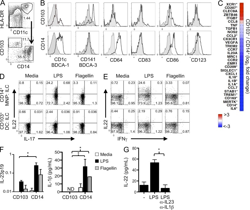 Human ILC3 production of IL-22 is supported by IL-23 and IL-1β produced by TLR-stimulated CD14 + and CX 3 CR1 + MNPs. (A–C) HLA-DR + CD11c + cells from intestinal resection tissue were sorted into CD103 + DCs and CD14 + MNPs subpopulations and transcriptional profiles were assessed by RNA-seq. (A) Sorting strategy. (B) Each subset was examined for expression of the indicated cell surface markers. Isotype controls are shown in gray. One of three donors is shown. (C) Heatmap of relative expression of relevant MNP-related genes. Values represent the mean of two independent donors, and an asterisk denotes individual genes differentially expressed at an FDR = 0.01. (D and E) Induction of IL-22 in human ILCs in co-culture with CD14 + MNPs or CD103 + DCs in the presence of media alone, LPS, or flagellin, as indicated. c-Kit + cells were examined for intracellular IL-22 production after 18-h culture. Data are representative of five independent experiments. (F) CD14 + MNPs or CD103 + DCs sorted from human intestine (as in A) were stimulated with the indicated TLR ligands for 18 h and qPCR or cytometric bead array analysis were used to quantitate IL-23p19 and IL-1β, respectively. Results are averaged from three independent donors, and technical replicates were performed in duplicate or triplicate, respectively. *, P ≤ 0.05. N.D., not detected. Two-tailed Student's t test. Error bars represent the SEM. (G) Sorted human intestinal CD14 + MNPs and ILCs were left unstimulated or were co-cultured in the presence of LPS with or without neutralizing antibodies against IL-1β and IL-23. IL-22 ELISA was performed after 18h. Results are averaged from two independent donors performed in duplicate. *, P ≤ 0.05. Two-tailed Student's t test. Error bars represent the SEM.