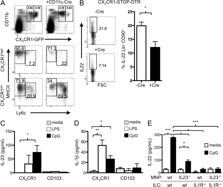 CX 3 CR1 + MNP-derived IL-23 and IL-1β activate ILC3 to produce IL-22. (A) Phenotype analysis of colonic LPMCs from Cx3cr1 STOP-DTR/GFP mice with or without CD11c-cre after DT injection for 2 d. (top) Selective depletion of CX 3 CR1 hi MNPs. (bottom) Expression of Ly6C and MHCII on CX 3 CR1 hi and CX 3 CR1 int populations. (B) Expression of IL-22 in Lin − CD90.2 + colonic ILCs from Cx3cr1 STOP-DTR/+ (Stop-DTR) or CD11c-Cre x Cx3cr1 STOP-DTR/+ (Cre-DTR) mice at 7 d after C. rodentium infection. DT was administered at days −2, −1, and 0 and every other day postinfection. One representative intracellular cytokine flow cytometry plot is shown on the left and a composite graph ( n = 6/group) on the right. *, P ≤ 0.05, two-tailed Student's t test. Error bars represent the SEM. Results are a composite of two independent experiments. (C) Supernatants from APC-ILC co-cultures ( Fig. 3, B and C ) were harvested after 18 h and assayed for IL-23 by ELISA. Results are averages of three independent experiments and the SEM is shown. (D) CX 3 CR1 + MNPs or CD103 + CD11b + DCs were sorted and incubated with media or CpG for 18 h and supernatants were assayed for IL-1β by ELISA. Results are the mean of two independent experiments performed in duplicate and the SEM is shown. *, P ≤ 0.05; **, P ≤ 0.01. (E) Lin − CD90.2 hi ILCs from WT or Il1r −/− mice were co-cultured with sorted intestinal MNPs from WT or Il23p19 −/− mice, with or without CpG, as indicated. IL-22 production by the ILCs was assessed after 18 h by ELISA. Data are combined from three independent experiments performed in duplicate. *, P ≤ 0.05; ***, P ≤ 0.001. One-way ANOVA with Bonferroni correction. Error bars represent the SEM.