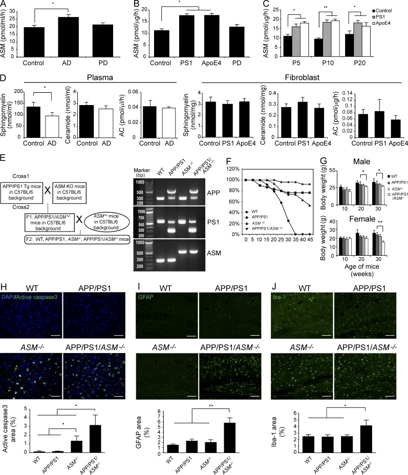ASM is increased in AD and complete ASM gene deficiency exacerbates pathology of APP/PS1 mice. (A and B) ASM was estimated in the blood plasma (A; control, n = 30; AD, n = 40; and PD, n = 20) and fibroblast (B; control, n = 24; PS1-FAD, n = 24; ApoE4, n = 24; and PD, n = 12) with AD, PD, or normal controls. (C) ASM activity did not show passage differences between AD and normal fibroblasts ( n = 8 per passage group). (D) Detection of sphingomyelin, ceramide, and AC in plasma (control, n = 20–22; and AD, n = 33–35) and fibroblast (control, n = 12; PS1-FAD, n = 18; and ApoE4, n = 18). (E) Crossing scheme to generate WT, APP/PS1, ASM −/− , and APP/PS1/ ASM −/− mice. PCR-based genotyping to detect WT, APP/PS1, ASM −/− , and APP/PS1/ ASM −/− mice. (F) Survival curves of WT ( n = 26), APP/PS1 ( n = 30), ASM −/− ( n = 30), and APP/PS1/ ASM −/− ( n = 25) mice. (G) Body weights of WT, APP/PS1, ASM −/− , and APP/PS1/ ASM −/− mice were determined at the indicated ages ( n = 6–7 per group). (H–J) Brain sections from 7-mo-old mice were immunostained with anti–active caspase3 (H; n = 4 per group; bars, 50 µm), anti-GFAP (I; n = 4 per group; bars, 100 µm), and anti–Iba-1 (J; n = 4 per group; bars, 100 µm). Data are representative of three independent experiments. A–D and G, Student's t test. H–J, one-way ANOVA, Tukey's post hoc test. *, P