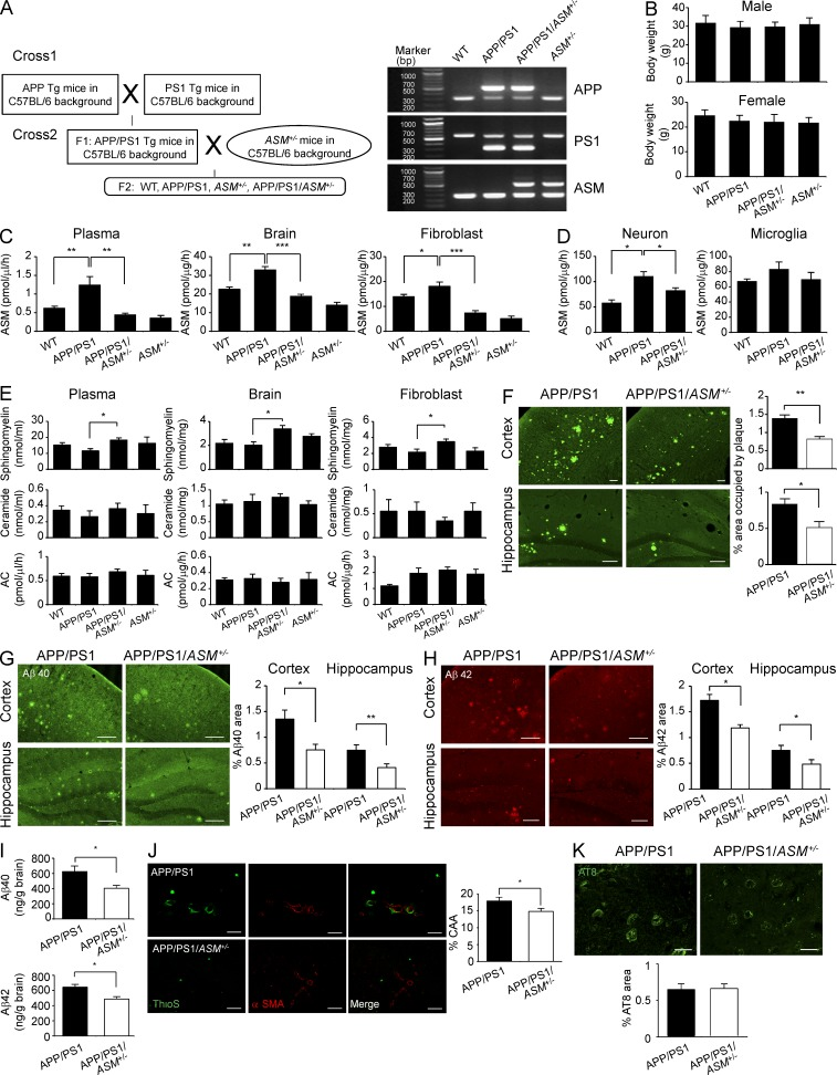 Partial genetic inhibition of ASM leads to decreased AD pathology in the APP/PS1 mice. (A) Generation of the APP/PS1/ ASM +/− mice. (B) Body weights of WT, APP/PS1, ASM +/− , and APP/PS1/ ASM +/− mice were determined at 9 mo of age ( n = 14 per group). (C) ASM activity in blood plasma ( n = 14–15 per group), brain ( n = 13–14 per group), and fibroblast ( n = 8 per group) derived from WT, APP/PS1, ASM +/− , and APP/PS1/ ASM +/− mice. (D) ASM activity was assessed in neuron and microglia isolated from mouse brain (WT, n = 8; APP/PS1, n = 6; and APP/PS1/ ASM +/− , n = 6). (E) Detection of sphingomyelin, ceramide, and AC in plasma ( n = 8–10 per group), brain ( n = 7–9 per group), and tail ( n = 5–6 per group) fibroblast. (F) Mice brain sections were stained with thioflavin S in APP/PS1 and APP/PS1/ ASM +/− mice. The relative area occupied by Aβ plaques were determined ( n = 6–7 per group; bars, 100 µm). (G–I) Analysis of Aβ40 and Aβ42 depositions from the mice brain samples using immunofluorescence staining (G and H; n = 6–7 per group; bars, 200 µm) and ELISA kits (I; n = 8 per group). (J and K) Confocal laser microscope images and quantification of cerebral amyloid angiopathy (J; n = 6 per group; bars, 50 µm) and tau hyperphosphorylation (K; n = 6 per group; bars, 20 µm) in APP/PS1 and APP/PS1/ ASM +/− mice. Data are representative of two (D and K), three (B, C, and E), or four (F–J) independent experiments. B–E, one-way ANOVA, Tukey's post hoc test. F–K, Student's t test. *, P