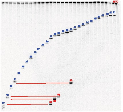 ASO binding to naked 32 P-labeled SOD-1 minigene mRNA. Denaturing PAGE analysis of digestion reactions with ASOs and without ASO (labeled UTC). The bands corresponding to the RNase H1 cleavage products from on-target binding are labeled with ASO number in blue and off-target ASO cleavage products are labeled with red ASO numbers. The position of the off-target ASO hybridization in the SOD-1 minigene mRNA was determined by comparing the size of the off-target cleavage bands with the size of the on-target cleavage bands (joined by red lines).