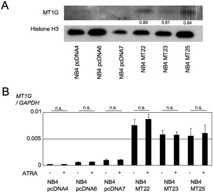 Establishment of NB4MTOE cells. (A) Expression of MT1G in NB4MTOE cells examined by western blotting. A rabbit polyclonal anti-MT antibody was used to detect exogenous MT1G. Equal amounts of soluble proteins were loaded in each lane and immunoblotted for MT and histone H3. The indicated numbers show the relative density, calculated with Image J 1.46 software, obtained as the density of each MT1G band divided by that of the corresponding histone H3 band. (B) The expression of MT1G was examined by real-time PCR (mean±SD; n.s., not significant). NB4MTOE cells and their control cells were cultured with or without 1 µM ATRA for 72 h, and then collected for analysis. Each gene transcript level was adjusted by the corresponding expression of GAPDH , and the relative levels are shown. The data presented were obtained from three independent PCR amplifications, and the reproducibility was confirmed by independent real-time PCR amplifications using different batches of cDNA.