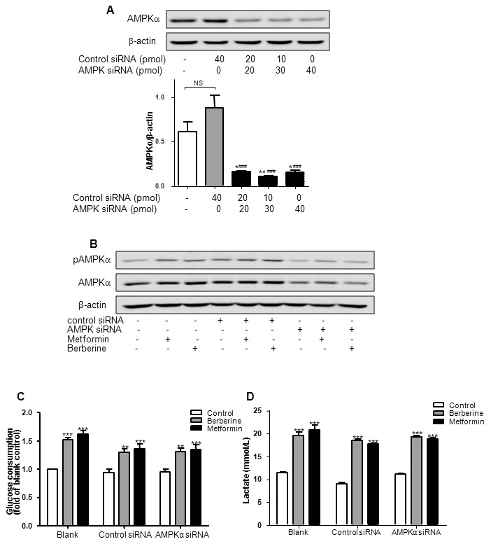 Effects of berberine on glucose consumption and lactate release upon AMPKα1/α2 silencing in HepG2 hepatocytes. A: HepG2 hepatocytes were seeded in 24-well plates, and transfected with various doses of scrambled siRNA and/or AMPKα1/α2 siRNA for 24 h. The protein level was examined by Western blot. Ratio of AMPKα to β-actin was quantified in 3 independent experiments per condition. It had been found that AMPKα1/α2 siRNA at 30 pmol/well most effectively suppressed the expression of AMPKα. * P