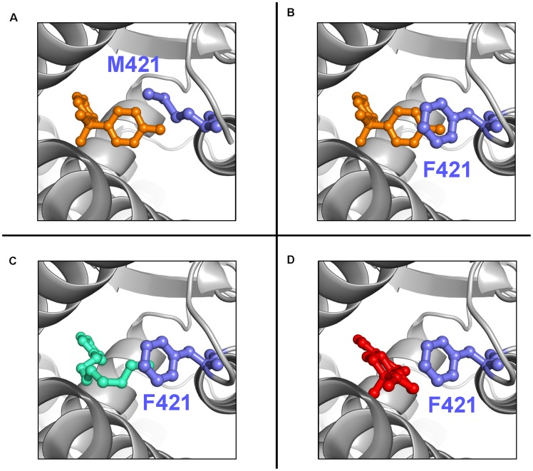 Computational docking models of ligands in the ER binding pocket. The protein backbone is shown as grey cartoon; ligands and side chain of residue 421 are shown as sticks; hydrogen atoms are not shown for clarity. M421F-ER α LBD mutant bound to bisphenol-A (orange in B), 4-nonylphenol (green in C) and 17β-estradiol (red in D). In contrast to the wt-ER α LBD (shown in A with bisphenol A), the aromatic ring of the F421 mutated ER may increase the affinity for the ligands either by direct stacking interactions or by increasing the aromatic content of the ligand binding pocket; no steric clashes are created by the incorporation of this larger side chain.