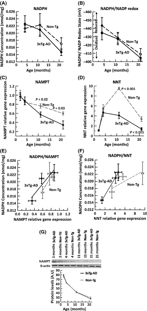 Brain NADPH concentration and NADPH/NADP redox state decline with age and correlate with decline in brain expression of NAMPT and NNT gene expression. By HPLC analysis of cortical/hippocampal tissue homogenates from 4-, 11- and 21-month non-Tg (dashed line) and 3xTg-AD (solid line), A) NADPH concentration (nmol/mg) declines with age (ANOVA F(2,24) = 10.4, P = 0.001). B) Calculated NADPH/NADP redox state (mV) using the Nernst equation indicates a large oxidative shift in both non-Tg and 3xTg-AD brain with age (ANOVA F(2,24) = 15.7, P = 0.001). qRT PCR on non-Tg (gray filled circle, dashed line) and 3xTg-AD (black filled circle, solid line) brains indicate an age- and AD-related loss in gene expression of metabolic enzymes C) NAMPT (ANOVA, age F(3,33) = 21.8, P