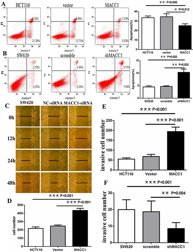 MACC1 inhibited or induced apoptosis in HCT116 cells (A) stably with MACC1 over-expression or SW620 cells (B) stably with shMACC1 compared with the control groups by flow cytometry analysis; MACC1 knockdown inhibited migration (C) and invasion (F) of SW620 cells compared with control groups by scratch wound assay and transwell invasion assay, respectively. MACC1 overexpression induced migration (D) and invasion (E) of HCT116 cells compared with control groups by transwell migration assay and transwell invasion assay, respectively.