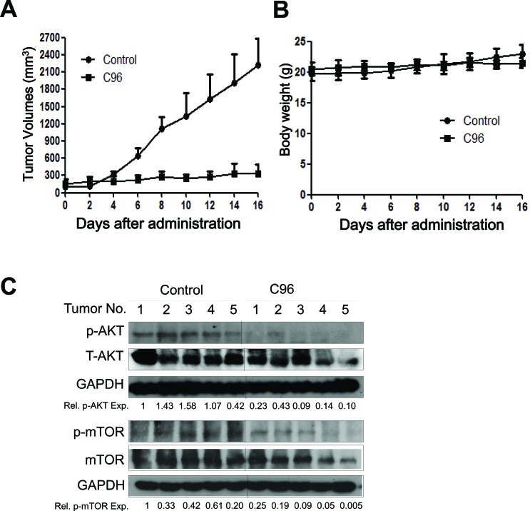 C96 delays myeloma tumor growth in a xenograft mouse model ( A ) JJN3 cells were injected subcutaneously into nude mice with a density of 30 million cells/site/mouse. When tumors were palpable, mice (n=5/group) were orally given C96 (100 mg/kg body weight) in PBS containing 10% Tween 80 and 10% DMSO daily for continuous 16 days. Tumor volumes were monitored every other day. ( B ) Mouse body weight was monitored every other day. ( C ) At the end of the experiment, tumor samples from each group were subjected to immunoblotting analysis for the expression levels of p-AKT, T-AKT, p-mTOR and mTOR with specific antibodies. GAPDH was used as a loading control.