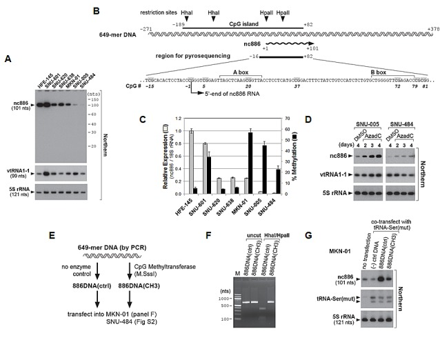 "nc886 expression suppression in gastric cancer cell lines through CpG DNA methylation A. Northern hybridization of nc886, vtRNA1-1, and 5S rRNA (control for equal loading) in indicated gastric cell lines. Molecular sizes from 5′- 32 P-labeled Decade markers (10 nt ladder) are indicated on the right. B. Diagram depicting a genomic region encoding nc886. A 649 nt DNA segment (also used in panel E-G) is illustrated in a double helix and nc886 RNA in a wavy line with an arrowhead indicating the direction of transcription. All nt coordinates are numbered referring to the 5'-end nt of nc886 RNA as +1. In the region for pyrosequencing, CpG dinucleotides are highlighted in grey and numbered consistently with Fig S3. A and B boxes (Pol III recognition elements) are also indicated. C. nc886 RNA expression and CpG DNA methylation levels. nc886RNA expression was measured by qRT-PCR. Ct values of each gene were converted to relative quantity (2 -Ct ) and normalized to 2 -Ct values from 18S rRNA. The value of HFE-145 was set as 1 (grey bars on the left y-axis). Percent methylation of cytosine at seven CpG sites (shown in Fig 2B , except for CpG #37) was measured by pyrosequencing. The seven values (shown in Fig S3) were averaged and plotted (black bars on the right y-axis). For both measurements, an average and the standard deviation were calculated from triplicate samples. D. Northern hybridization after treatment with 10 μM of AzadC. All other descriptions are the same as in panel A. E-G. Transfection of an in vitro methylated nc886 DNA fragment. The experimental scheme is illustrated in panel E. After M.SssI enzyme treatment (or no enzyme control), methylation of the 649-mer DNA (see panel B and E) was assured by digestion with methylation-sensitive restriction endonucleases Hha I/ Hpa II (panel F). ""M"" (lane 1) indicates molecular size markers whose sizes in nts are indicated on the left. ""(-) ctrl DNA"" (in panel G) denotes a 597-mer DNA fragment from an irrelevant gene, MKRN1. At 24 hrs after transfection of indicated DNA into MKN-01 cells (lane 2-4), nc886 and 5S rRNA were measured by Northern hybridization (panel G). Comparable transfection efficiencies were confirmed by a tRNA-Ser(mut) signal from the co-transfected plasmid ""pCR-tRF1001_338(mut1)"". This signal was almost absent in the untransfected sample (lane 1)."