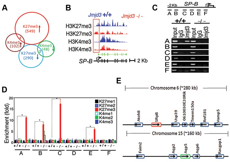 Jmjd 3 ablation affects global histone methylation in lung tissues and methylation status of the promoter regions of target genes. ( A ) Global gene methylation analysis of Jmjd3 +/+ and Jmjd3 −/− lung tissues at E17.5 by ChIP-Seq. ↑, methylation increased; ↓, methylation decreased. ( B ) ChIP-Seq analysis of H3K27me3 and H3K4me3 levels in the promoter and gene body regions of the SP-B gene in Jmjd3 +/+ and Jmjd3 −/− lung tissues at E17.5. Data shown are representative of <t>three</t> independent experiments. ( C ) Jmjd3 binding to the SP-B promoter in lung tissues was determined by ChIP-PCR. Chromatin was immunoprecipitated from the lung tissues of E17.5 Jmjd3 +/+ and Jmjd3 −/− embryos. Primer design for the ChIP-PCR assay of mouse SP-B promoter regions ( top panel ). The primers sets cover the following regions: A, −2347–−2142; B, −2065–−1835; C, −1451–−1334; D, −1001–−878; E, −516–−383; F, −218–+14. ChIP-PCR assay showing Jmjd3 binding around 2 kb upstream of the TSS of the SP-B promoter region ( bottom panel ). ( D ) <t>ChIP-qPCR</t> analysis of histone methylation levels in the SP-B promoter region in the lung tissues of E17.5 Jmjd3 +/+ and Jmjd3 −/− embryos. ( E ) Locus-specific demethylation analysis of Jmjd3 by ChIP-Seq. ChIP-Seq was done to determine the H3K27 and H3K4 methylation level of genes located in the region (∼280 kb) containing SP-B on chromosome 6 and the region (∼160 kb) containing AQP-5 on chromosome 15. Arrows indicate the gene expression direction.