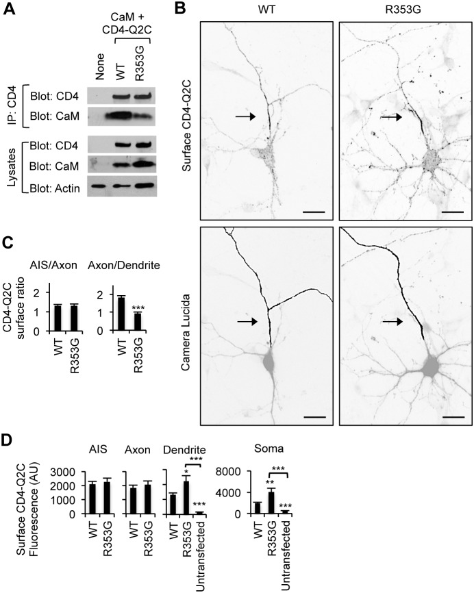 "The BFNC R353G mutation blocks axonal enrichment of surface CD4-Q2C. (A) The R353G mutation reduced but did not abolish co-immunoprecipitation of CaM with CD4-Q2C from transfected HEK293T cells. β-actin served as a loading control for total cell lysates (B) Surface immunostaining of WT or R353G mutant CD4-Q2C in hippocampal neurons (DIV 7–8). Camera lucida drawings (lower) of the inverted images of surface CD4-Q2C (upper) show the soma and dendrites (gray) and an axon (black). The axon was identified by the lack of MAP2 immunostaining in the neurons cotransfected with GFP. The R353G mutation blocked enrichment of CD4-Q2C on the axonal surface by increasing its somatodendritic surface expression. Arrows mark the main axon. Scale bars are 20 µm. (C) In comparison to WT, the surface ""Axon/Dendrite"" fluorescence ratio of CD4-Q2C was reduced to 1 by the R353G mutation, whereas the surface ""AIS/Axon"" ratio was unaffected. (D) Background subtracted, mean intensity of surface CD4 fluorescence in the AIS, distal axons, soma, and major dendrites. The R353G mutation increased CD4-Q2C expression at the somatodendritic surface compared to WT. The sample number for each construct used in (C, D) was as follows: WT (n = 23), R353G (n = 18), and untransfected (n = 15). AU, arbitrary unit. Ave ± SEM (*p"