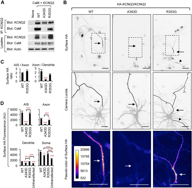 "The A343D mutation blocks axonal enrichment of surface HA-KCNQ3/KCNQ2 channels. (A) Lysates from HEK293T cells expressing CaM and wild-type KCNQ2 (WT) or mutant KCNQ2 (A343D and R353G) were subjected to <t>immunoprecipitation</t> (IP) with the KCNQ2 antibody. Immunoprecipitation and total cell lysates were analyzed by immunoblotting for KCNQ2 and CaM. β-actin served as a loading control. The A343D mutation abolished whereas the R353G modestly reduced co-immunoprecipitation of CaM with KCNQ2. (B) Representative inverted images of surface HA-KCNQ3 in hippocampal neurons cotransfected with GFP and KCNQ2 WT or mutants (A343D and R353G). The A343D but not the R353G mutation abolished surface expression of HA-KCNQ3/KCNQ2 at the axon, which was identified by immunostaining for the AIS marker, phospho IκBα Ser32 (14D4) ( Figure S4 ). Camera lucida drawings (middle) of neuronal images (upper) show the soma and dendrites (gray) and an axon (black). Pseudo-color images (lower) of the insets in the neuronal images (upper) display differences in the surface HA intensity. Arrows indicate the AIS. Arrowheads mark another axon. Scale bars: 20 µm. (C) The surface ""Axon/Dendrite"" ratio was reduced by the A343D but not the R353G mutation. The surface AIS/distal axon ratio for A343D mutant channels was not calculated due to their absence at the axonal and AIS surface. (D) Background subtracted, mean intensity of surface HA fluorescence in the AIS, distal axons, soma, and major dendrites. The sample number for each construct was as follows: WT (n = 27), A343D (n = 22), R353G (n = 21), and untransfected (n = 15). AU, arbitrary unit. Ave ± SEM (*p"