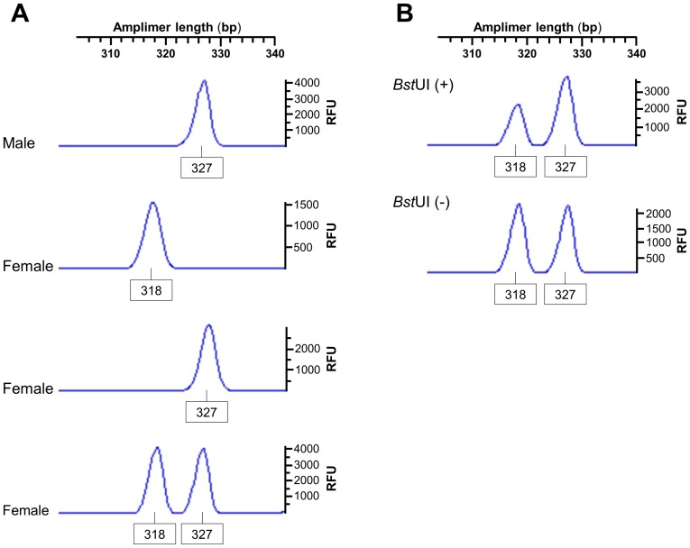 The RP2 onshore tandem GAAA repeat is polymorphic in marmosets. Electropherograms of alleles observed in marmosets genotyped via quantitative fluorescent PCR. ( A ) Representative allele profiles from males, which exhibited only the major allele, and female animals with three distinct genotypes (homozygotes for either the minor or major allele or heterozygotes) are shown. ( B ) Representative random XCI pattern observed at the 5 me CpG-sensitive Bst UI recognition site within the RP2 GAAA-containing amplimer, with an Xa/Xi ratio of approximately 65%. The allele names are the lengths in base pairs of each fluorescence peak and the intensity of each peak is in relative fluorescence units (RFU).