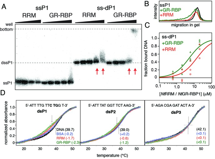 Glycine-rich region stimulates higher-order complex formation and dsDNA unfolding ( A ) Representative DNA binding experiment by EMSA for the binding of 0, 0.7, 2, 7, 20 μM Nt RRM or Nt GR-RBP1 to a single or double ssDNA binding element (ssP1 or ss-dP1). Dashed lines indicate the positions of the wells and the free mobilities of ssP1 and ss-dP1, and serve to guide the eye. The arrows indicate lanes of interest with clear band shifts. Several lanes show a smeared, asymmetric band appearance caused by significant dissociation during electrophoresis. The selection box for quantification of the free DNA probe is indicated in white on the first lane. ( B ) 1D traces of the lanes with 20 μM Nt RRM or Nt GR-RBP1 added to ssP1 show a small but reproducible and concentration-dependent shifts in mobility. ( C ) Quantification of the fraction of bound ssDNA for the ss-dP1 probe at the indicated concentration of Nt GR-RBP1 and Nt RRM, the line represents the calculated binding curve based on three independent experiments. ( D ) UV melting curves of indicated oligonucleotides in presence of 3 M equivalents of Nt GR-RBP1, Nt RRM or BSA. Absorbance (at 260 nm) versus temperature curves in 20 mM KPi, 100 mM KCl, 1 mM BME at pH 7.0. Temperatures (°C) at the transition midpoint, T m , are indicated for the free DNA probes, with changes in T m listed in the presence of the three proteins.
