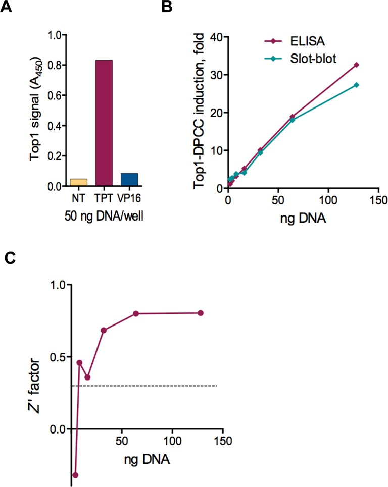 Reproducibility of detection of Top1-DPCC by ELISA-based RADAR assay. ( A ) Specificity of detection by ELISA assay using an anti-Top1 antibody. ELISA assays were performed on DNA isolates of CCRF-CEM treated with cognate (TPT) versus non-cognate (VP16) topoisomerase poison, and compared to an untreated control (NT). ( B ) Comparison of ELISA and slot-blot immunoassays of fold induction of Top1-DPCC, assayed in samples from HCT116 cells treated with CPT, containing indicated initial amounts of DNA. ( C ) Z' factor of Top1 DPCC detection by ELISA-based RADAR assay. Z′ factor was calculated for each DNA dilution indicated using replicates of HCT116 cells treated with CPT and untreated controls.
