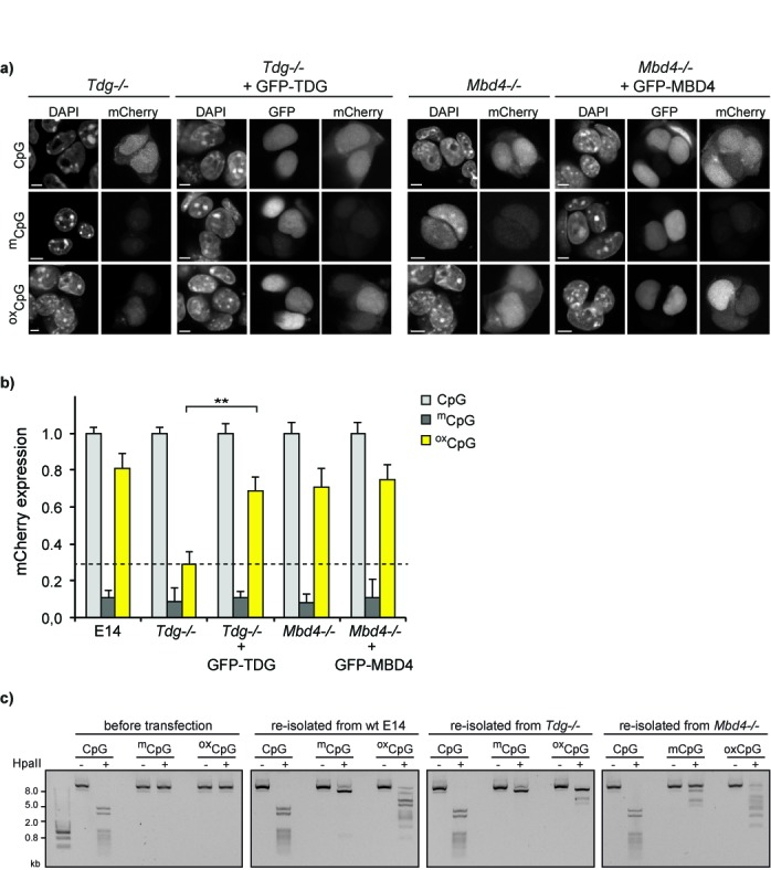 Oxidation of m CpG plasmid DNA leads to TDG-dependent gene reactivation. ( a ) Tdg-/- ESCs were transfected with pOct4-mCherry plasmids containing either unmodified, methylated or oxidized CpGs. Confocal images show a defect of ox CpG gene reactivation in Tdg-/- ESCs but not in Mbd4-/- ESCs. Transient rescue of Tdg-/- ESCs with GFP-TDG re-establishes ox CpG reporter gene expression. Cells were fixed with formaldehyde and counterstained with DAPI. Scale bar: 5 μm. ( b ) High-throughput image acquisition and quantification of pOct4-mCherry expression shows that oxidation of m CpG sites in the pOct4-reporter results in reactivation of mCherry-expression in wt E14 ESCs and Mbd4-/- ESCs, but not in Tdg-/- ESCs. Expression of GFP-TDG rescues the phenotype (student's t -test, ** P