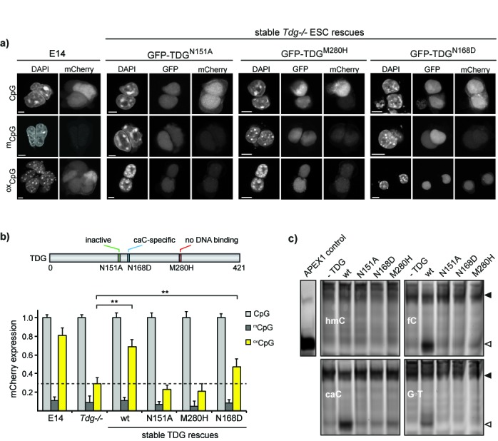 TDG activity is essential for gene reactivation. ( a ) Confocal images depicting expression levels of oxidized pOct4-mCherry expression in Tdg-/- ESCs stably rescued with GFP-TDG N151A , GFP-TDG M280H and GFP-TDG N168D in comparison to wt E14 ESCs. Scale bar: 5 μm. ( b ) High-throughput image acquisition and quantification of pOct4-mCherry expression in wt E14, Tdg-/- and Tdg-/- ESCs stably expressing wt, catalytically inactive, DNA binding deficient and caC-specific TDG mutants. Methylation of the pOct4-mCherry reporter leads to a 5-fold lower expression compared to unmodified plasmid. Oxidation of m CpG sites in the pOct4-reporter results in reactivation of mCherry-expression in wt ESCs but not in Tdg-/- ESCs. This re-increase was also obtained in Tdg-/- ESCs rescued with wt or caC-specific TDG, while the latter was not as efficient (student's t -test, ** P