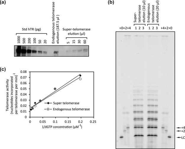Measurement of the specific activity of endogenous telomerase and of super-telomerase. ( a ) Quantification of the hTR molecules co-immunoprecipitated with hTERT. The number of endogenous or overexpressed hTR molecules in the corresponding elution samples was measured by comparing northern blot signals obtained from a titration of Std hTR to that from hTR present in the indicated volumes of elutions. ( b ) Quantification of activity of telomerase eluted from antibody beads by the direct assay (see 'Materials and Methods' section). (1, 2, 3) Triplicate repeats of experiment. +0, labeled unextended primer, which also served as a loading control (LC). +2 and +4, size markers made by extending the DNA primer by two or four nucleotides. Signals of extension products on the gel were compared to that of the 18-mer LC to calculate the absolute radioactivity of the extension products. Given the number of hTR molecules in the elution samples measured in (a), the specific activity (nt incorporated per telomerase per minute) was then calculated. ( c ) Telomerase activity as a function of dGTP concentration shown as a Lineweaver–Burk plot. Each point is the average of two technical replicates. One of two biological replicates is shown. For super-telomerase, V max = 57 ± 10 nt incorporated per telomerase monomer per minute, K m = 17 ± 3 μM; for endogenous telomerase, V max = 59 ± 8 nt incorporated per telomerase monomer per minute, K m = 16 ± 2 μM (mean ± SD, n = 2 biological replicates.)