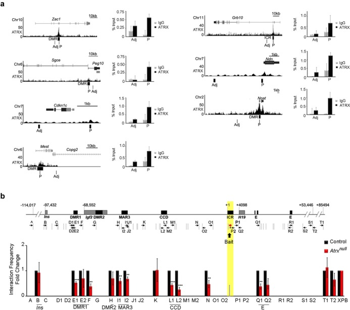 3C analysis of control and ATRX-deficient neonatal forebrain shows that ATRX is required for long-range chromosomal interactions mediated by the H19 ICR. ( a ) Analysis of ATRX ChIP-sequencing data in mouse embryonic stem cells ( 15 ) shows ATRX occupancy at several imprinted domains (left panels, UCSC views). ATRX enrichment at these sites in neonatal mouse forebrain was confirmed by ChIP, as shown in the graphs on the left ( n = 3, error bars represent SEM, p = peak, adj = adjacent). ( b ) Schematic representation of the H19/Igf2 genomic region, the position of EcoRI sites (gray vertical lines) and the primers used for 3C analysis (black arrows). Gray boxes represent the position of genes and black boxes demarcate regulatory elements. Numbers indicate the relative nucleotide position from the start of the H19 ICR. The H19 ICR bait sequence is highlighted in yellow. 3C analysis was performed with the H19 ICR bait and primers across the H19/Igf2 domain in control and ATRX-null forebrains ( n = 5 littermate pairs) and was quantified by PCR with a forward primer (red arrow), Taqman probe to the H19 ICR (asterisk), and reverse primers. Graphed data represents the mean fold change of interaction frequencies, and error bars depict SEM. A two-tailed t -test was used to assess significance. * P