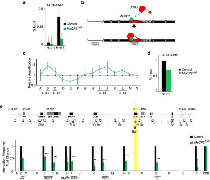 MeCP2 is required for ATRX and CTCF binding to the H19 ICR and the long-range chromatin interactions across the H19/Igf2 domain. ( a ) ATRX ChIP was performed in control and MeCP2 null neonatal forebrain and shows that MeCP2 is required for ATRX occupancy at the H19 ICR. The graph shows mean fold change value ( n = 4) and error bars depict SEM. ( b ) Diagram of the H19 ICR and location of the H19-1 and H19-3 primer pairs used in the ChIP-qPCR in (a). ( c ) Allelic nucleosome digestion assay of the H19 ICR was performed in control and MeCP2 null forebrains and reveals increased protection at the 5′ end of the maternal H19 ICR in the MeCP2 null neonatal forebrain. A significant increase in nucleosome occupancy was observed within regions B and I ( P = 0.042) of the H19 ICR and a significant decrease at site E ( P = 0.05). Graphs depict mean fold change and statistical analysis was performed by a two-tailed t -test ( n = 3, errors bars depict SEM). * P