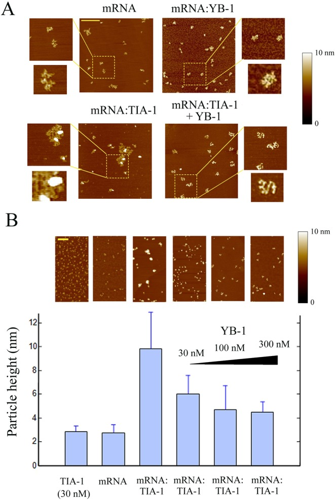 YB-1 dissociates RNA granules in vitro as revealed by atomic force microscopy. ( A ) As control, naked 2Luc mRNA (2 μg/ml) deposited on a mica surface was clearly detected by AFM. In the presence of 100 nM YB-1, single isolated mRNPs were detected. On the other hand, in the presence of 15 nM TIA-1, mRNA:TIA-1 complexes form aggregates. Interestingly, when 100 nM YB-1 was added to preformed mRNA:TIA-1 aggregates for 5 min, a clear dissociation of RNA granules into isolated mRNP was observed. Scale bar: 0.5 μm. ( B ) Statistical analyses of the particle height on the mica surface. TIA-1 (30 nM) in the absence of RNA is attracted on the negatively-charged surface and tends to form small TIA-1 aggregates (2.8 ± 0.5 nm), as expected from its self-attracting domain. In the presence of 2Luc mRNA (2 μg/ml), we noticed the appearance of large mRNA:TIA-1 aggregates (9.8 ± 3.1 nm). These large aggregates consequently contained both mRNA and TIA-1. Addition of increasing concentration of YB-1 progressively dislocates the mRNA:TIA-1 aggregates and leads to the appearance of isolated mRNPs after 5 min. Scale bar: 0.5 μm. The 'particle analysis' application of the nanoscope IIIa software (version 5) over at least 200 particles was used to provide mean heights and standard deviations.