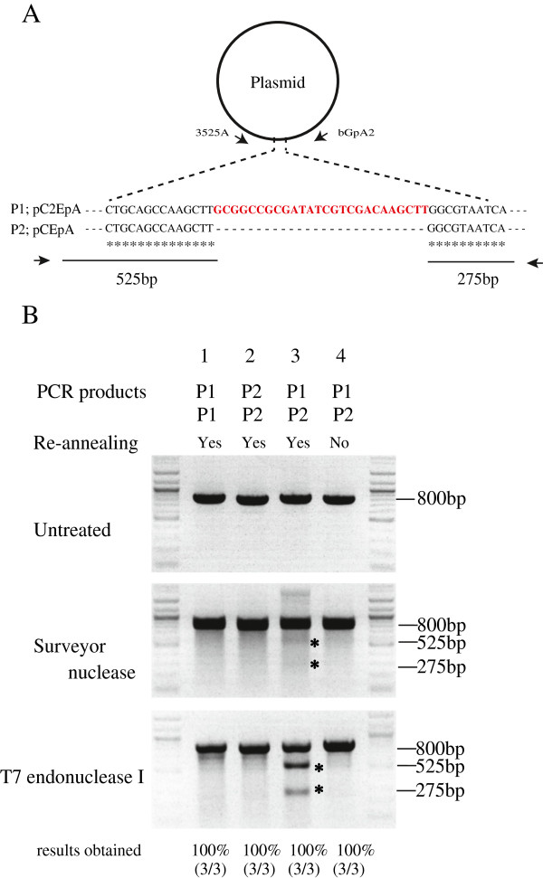 Comparison of assays using Surveyor nuclease and T7 endonuclease I. A : P1 and P2 polymerase chain reaction (PCR) products (approximately 800bp) were used as template to evaluate which nuclease provide clearer and more reproducible results. The P1 and P2 PCR products were generated by PCR of pC2EpA or pCEpA, respectively, using the 3525A and bGpA2 primer set. Both 800-bp products re-annealed were expected to cleavage into two fragments (525 and 275bp in size) by Surveyor nuclease or T7 endonuclease I.  B : Agarose gel electrophoresis of nuclease-treated PCR products. A mixture containing P1 (100ng) and P1 (100ng) (lane 1), P2 (100ng) and P2 (100ng) (lane 2), or P1 (100ng) and P2 (100ng) (lane 3) was re-annealed and treated with each nuclease. In addition, a mixture containing P1 (100ng) and P2 (100ng) was directly treated with nuclease without re-annealing (lane 4). The 2 asterisks indicate the expected 525- and 275-bp cleavage bands. The experiments were carried out 3 times. The representative results were shown here.