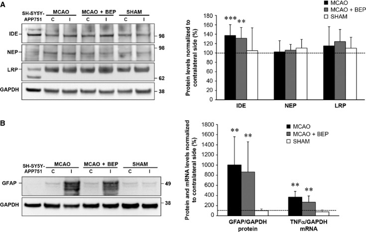 Bepridil treatment does not affect IDE, NEP or LRP expression, or the inflammatory response in the ipsilateral thalamus in MCAO rats. (A) Western blot showing the protein levels of IDE, NEP and LRP in the contralateral (C) and ipsilateral (I) thalamus of the vehicle- (MCAO) and bepridil-treated (MCAO+BEP) MCAO rats as well as sham-operated (SHAM) rats. Total protein lysate from human SH-SY5Y cells stably overexpressing the APP751 isoform (SH-SY5Y-APP751) was used as a control. GAPDH-normalized protein levels in the ipsilateral thalamus were compared relative to the contralateral thalamus (=100%). Statistical comparison was performed between ipsilateral and contralateral sides as well as between different treatment groups. (B) Western blot analysis of GFAP levels in the contralateral (C) and ipsilateral (I) thalamus of the vehicle- (MCAO) and bepridil-treated (MCAO+BEP) MCAO rats as well as sham-operated (SHAM) rats. TNF-α and GAPDH mRNA levels were quantified using qPCR. GAPDH-normalized GFAP and TNF-α levels in the ipsilateral thalamus were compared relative to the contralateral thalamus (=100%). Data are shown as mean ± S.D. * P