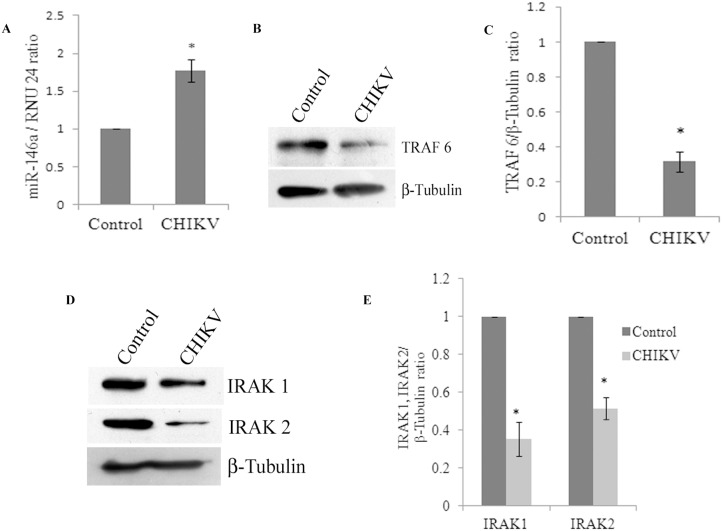CHIKV infection increases miR-146a expression and decreases TRAF6, IRAK1, and IRAK2 in primary human synovial fibroblasts. Expression of miR-146a was increased upon CHIKV infection. (A). Human primary synovial fibroblasts were infected with CHIKV at MOI of 2 and cells were harvested 32 hours post infection for RNA isolation and protein lysate preparation. Expression levels of miR-146a were determined by qRT-PCR with TaqMan primers and probes specific for miR-146a. Expression level of RNU 24, an endogenous control, has been used as normalizer and the results are shown as fold changes compared to controls. (B) Western blot analysis showing decrease in the protein expression levels of TRAF6 in CHIKV infected primary human synovial fibroblasts. (C) Graph bars are showing densitometry analysis of TRAF6 normalized with housekeeping gene β-tubulin by ImageJ software. (D). Western blot analysis showing decrease in protein expression levels of IRAK 1 and IRAK 2 in CHIKV infected primary human synovial fibroblasts compared to uninfected controls. (E) Graph bars representing densitometry analysis for expression levels of IRAK1 and IRAK2 normalized with β-tubulin. All the experiments were independently repeated three times and shown as mean ± SEM. * above bars are representing the p value≤0.05 as level of significance, n = 3 (*for p value≤0.05).