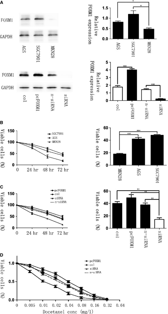 Elevated levels of forkhead box protein M1 (FOXM1) correlate with resistance to docetaxel in gastric cancer. ( A , Top) The expression of FOXM1 in three gastric cancer cell lines: AGS, SGC-7901 and MKN-28, shown by western blot. (Bottom) The expression of FOXM1 after transfected with pcDNA3. 1, pcDNA3. 1-FOXM1, non-specific siRNA or FOXM1-siRNA in gastric cell lines AGS, analysed by western blot 48 hrs later. ( B ) AGS, SGC-7901 and MKN-28 cells were treated with 0.02 mg/l of docetaxel for 0, 24, 48 and 72 hrs. MTT assay was performed to test the cell viability. ( C ) Gastric cell lines AGS were treated with docetaxel at the concentration of 0.02 mg/l after FOXM1-siRNA or pcDNA3, 1-FOXM1 transfection for 72 hrs. Cell growth curves were drawn by MTT assays. The IC50 in FOXM1 knockdown, overexpressed, non-specific siRNA and pcDNA3, 1 transfected groups was 0.012, 0.040, 0.024 and 0.027 mg/l respectively ( D ). * P ≤ 0.05; ** P ≤ 0.01; *** P ≤ 0.001 significant.