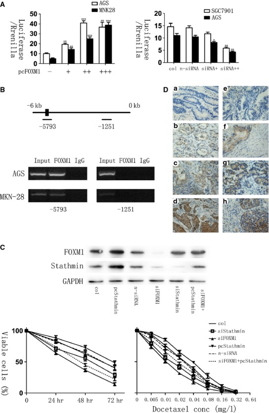 Forkhead box protein M1 (FOXM1) correlated with Stathmin in gastric cancers. ( A ) The luciferase activity of Stathmin promoter–reporter vectors was modulated by FOXM1 levels in human gastric cell lines. (Left) MNK-28 and AGS cells were transfected with Stathmin promoter–reporter vectors and increasing amounts (0.2, 0.4, 0.6 ng) of pcDNA3, 1-FOXM1. (Right) AGS and SGC-7901 cells were transfected with Stathmin promoter–reporter vectors and transfection reagents, non-specific siRNA or different amount (10 and 20 nM) of FOXM1-siRNA. pcDNA3,1 was used as a control. The relative Stathmin promoter activities were measured 24 hrs after transfection, and the activities in the treated groups were expressed as the fold or percentage of that in their respective control groups. ( B ) Chromatin immunoprecipitation assay (ChIP) was performed in AGS and MKN-28 cells using an antibody specific to FOXM1 or IgG as a control. PCR was used to amplify the region surrounding the putative FOXM1 binding site at −5793 upstream of the transcriptional start site and the region surrounding −1251 as a non-specific control. Representative PCR results are shown. ( C ) Silencing FOXM1 sensitized docetaxel-resistant gastric cancer cells, and Stathmin overexpression rescued chemoresistance in FOXM1-silenced AGS-DOC R cells. Western blot analysis reveals the expression of genes in AGS-DOC R cells expressing pcDNA3,1-Stathmin, si-FOXM1, si-Stathmin or si-FOXM1 plus Stathmin (Top). MTT assay shows cell survival in AGS-DOC R cells expressing pcDNA3,1, pcDNA3,1-Stathmin, non-specific siRNA, si-FOXM1, si-Stathmin or si-FOXM1 plus Stathmin treated with docetaxel and the IC50 was 0.026, 0.036, 0.024, 0.011, 0.014, 0.019 mg/l respectively (Bottom). ( D ) Immunohistochemical staining for FOXM1 and Stathmin antibody in human gastric cancer tissues (×400). The paraffin-embedded gastric tissues were stained with antibodies FOXM1 (A, B, C, D) and Stathmin (E, F, G, H). * P ≤ 0.05; ** P ≤ 0.01; *** P ≤ 0.001 signi