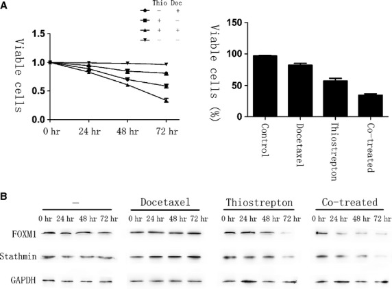 Thiostrepton can reverse docetaxel resistance in gastric cancer cells. AGS-DOC R cells were treated with dimethyl sulfoxide (vehicle control), 0.15 mg/l docetaxel, 16 mg/l thiostrepton or a combination of 0.15 mg/l docetaxel and 16 mg/l thiostrepton for 72 hrs. ( A ) The percentage of viable cells in different treatment group is shown at each time-point by MTT assay. ( B ) Cell lysates were prepared at 0, 24, 48 and 72 hrs after treatment, and the expression of forkhead box protein M1, Stathmin and GAPDH were analysed by western blot analysis.