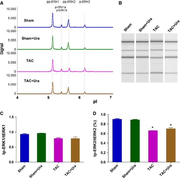Urantide doesn*t affect the phosphorylation of extracellular signal-regulated kinas (ERK) in cardiac side population cells (CSPs) in pressure overload mice. ( A ) Multiple isoforms of Phospho-ERK was detected in CSPs by nanofluidic proteomic immunoassay (NIA). Peaks on the traces that represent phosphorylated isoforms are indicated. ( B ) NIA pseudoblot representation of ERK. ( C ) Bar graph of tp-ERK1/tERK1 by NIA quantification. tp-ERK1: total phosphorylation of ERK1. tERK1: total ERK1. ( D ) Bar graph of tp-ERK2/ERK2 by NIA quantification. tp-ERK2: total phosphorylation of ERK2. tERK2: total ERK2. Urantide (30 μg/kg/day) or vehicle were respectively continuously administered by Alzet osmotic minipumps to mice from 2 to 4 weeks after transverse aorta constriction (TAC) or sham operation, then CSPs were isolated from heart by fluorescence-activated cell sorting for NIA with antibody to phosphos-ERK. Values are expressed as mean ± SEM. Sham: n = 9. Sham+Ura: n = 6. TAC: n = 6. TAC+Ura: n = 7. Ura:urantide. * P