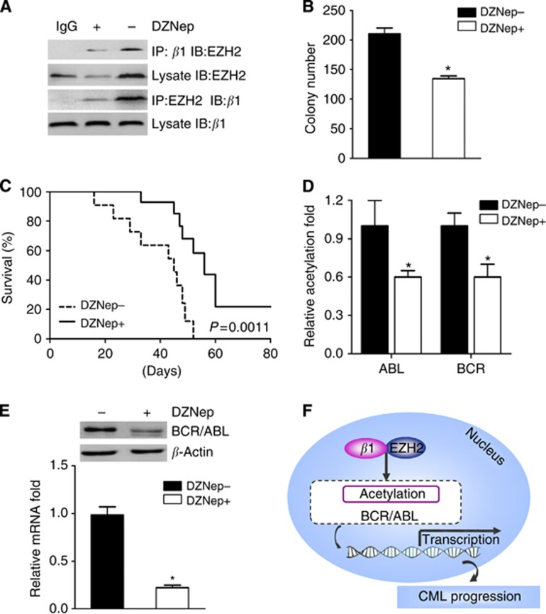 DZNep inhibits β -arrestin1-EZH2 binding, alters BCR/ABL gene expression and acetylation and further suppresses K562 cells progression. ( A ) K562 cells were pretreated with or without 2 μ M DZNep for 24 h. And then Co-IP was performed to detect the expression of EZH2 and its interaction with β -arrestin1. ( B ) Different K562 cells were cultured in a two-layer soft agar for 14 days, and the colonies (⩾40 cells for each) were counted. Experiments were performed triplicate at each point. ( C ) Stable K562-Ctrl cells were injected into the tail vein of lethally irradiated NOD/SCID mice. Ten days later, DZNep was intraperitoneally injected at a dose of 2 mg kg −1 daily and the survival of mice was observed. The control mice received PBS. n =10 each group. ( D ) ChIP analysis was used to determine the effects of DZNep in the acetylation of BCR and ABL. ( E ) The expression of BCR/ABL quantified by real-time RT–PCR (lower panel) and WB (upper panel). ( F ) The scheme of this study. * P