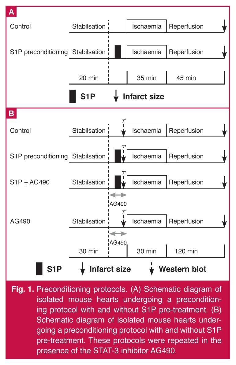 Preconditioning protocols. (A) Schematic diagram of isolated mouse hearts undergoing a preconditioning protocol with and without S1P pre-treatment. (B) Schematic diagram of isolated mouse hearts undergoing a preconditioning protocol with and without S1P pre-treatment. These protocols were repeated in the presence of the STAT-3 inhibitor AG490.