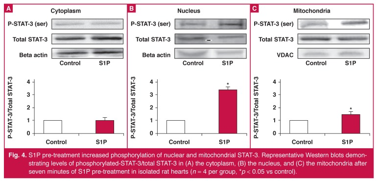 S1P pre-treatment increased phosphorylation of nuclear and mitochondrial STAT-3. Representative Western blots demonstrating levels of phosphorylated-STAT-3/total STAT-3 in (A) the cytoplasm, (B) the nucleus, and (C) the mitochondria after seven minutes of S1P pre-treatment in isolated rat hearts ( n = 4 per group, * p