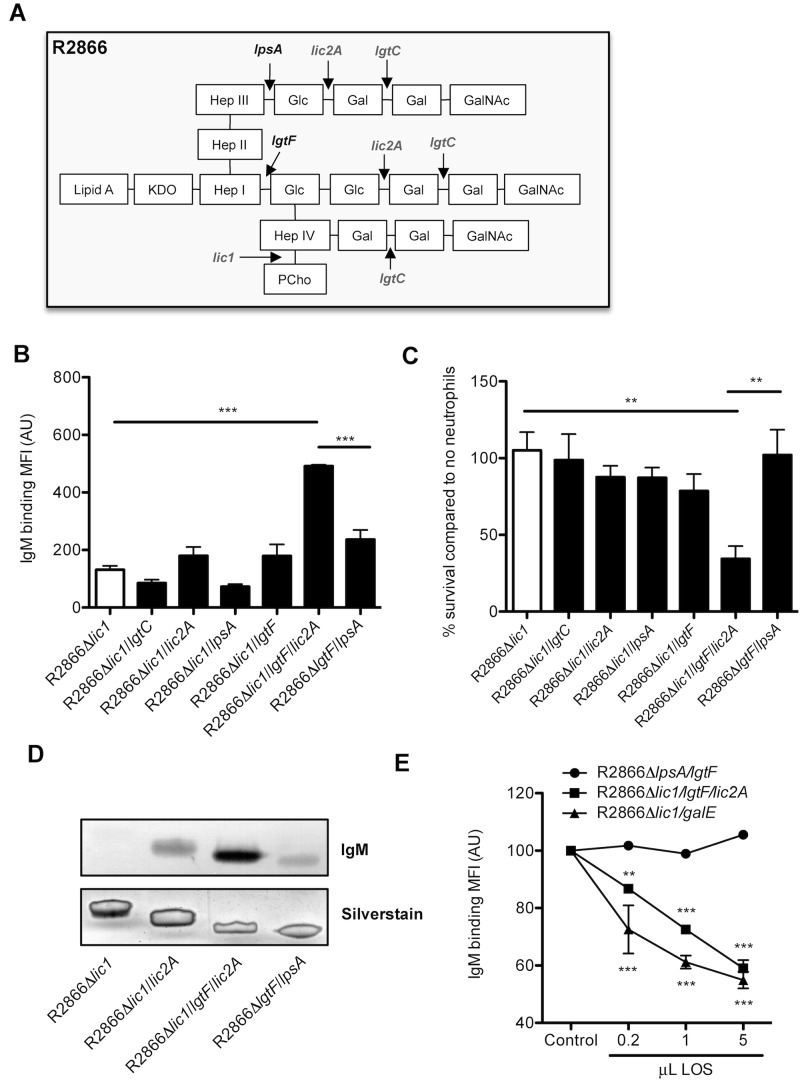 Binding of IgM to HepIII-β1,2-Glc increases neutrophil-mediated killing. (A) Predicted LOS structure of NTHi strain R2866 (23; Elke Schweda, personal communication) with phase-variable LOS synthesis genes in gray. (B) R2866 LOS mutants were incubated for 15 min with 5% NHS at 37°C, and binding of IgM to the bacterial surface was determined by flow cytometry. (C) R2866LOS mutants were incubated with 3% NHS with or without neutrophils, and survival was determined after incubation at 37°C for 30 min. (D) LOS was isolated from R2866 LOS mutants, separated by Tris Tricine SDS-PAGE, and visualized by silver staining, or IgM binding was detected by Western blot analysis. (E) R2866Δ lic1/lgtF/lic2A was incubated for 15 min with 5% NHS that was preincubated with LOS isolated from R2866Δ lic1/lgtF/lic2A , R2866Δ lic1/galE , or R2866Δ lpsA/lgtF for 15 min at 37°C, and binding of IgM to the bacterial surface was determined by flow cytometry. Statistical significance was determined with a one-way analysis of variance and the Tukey post hoc test (B and C) or two-way analysis of variance and the Bonferroni post hoc test (E). **, P