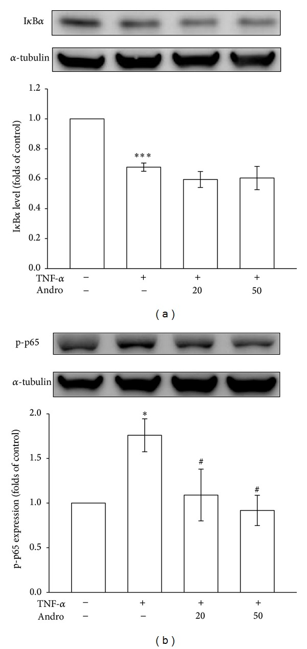 Effects of andrographolide on I κ B α degradation and p65 activation in TNF- α -stimulated VSMCs. The VSMCs were treated with PBS (resting group) or pretreated with andrographolide (20 and 50 μ M) or an equal volume of DMSO (solvent control) for 20 min, and TNF- α (10 ng/mL) was subsequently added for 30 min. (a) I κ B α degradation and (b) p65 phosphorylation were evaluated as described in Section 2 .* P