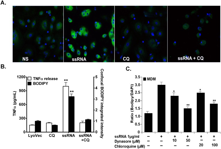 Dependence of HIV-derived ssRNA-induced foam cell formation and TNFα in macrophages on endocytosis and endosomal acidification. MDMs were pretreated with 100 µM chloroquine or 50 µM dynasore for 1 h followed by incubation with 1 µg/ml HIV-ssRNA for 24 h and stained with BODIPY and DAPI (A, C) and cell free supernatant analyzed for TNFα by ELISA and integrated fluorescence intensities for BODIPY in each cell of the confocal micrographs (B). Data shown is a representative experiment with similar results from four different healthy uninfected subjects. *p
