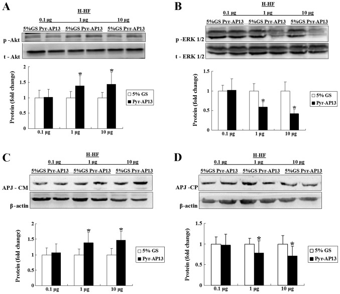 Protein expression of (A) p-Akt, (B) p-ERK1/2, (C) APJ receptor in the cellular membrane (APJ-CM) and (D) APJ receptor in the cytoplasm (APJ-CP) in isolated left ventricular myocytes of rats with hypertension and heart failure (H-HF) treated with 5% glucose injection (GS) or pyroglutamylated apelin-13 (Pyr-AP13). All values are expressed as the means ± SD. * P