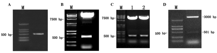Construction and identification of plasmids by agarose gel electrophoresis. (A) Polymerase chain reaction product MHBst 167 (501 bp). (B) Restriction enzyme digestion of pGBKT7-MHBst 167 plasmids by Eco RI/ Bam HI (pGBKT7, 7,300 bp; MHBst 167 , 501 bp). (C) Restriction enzyme digestion of (Lane 1) pGBKT7-MHBst 167 and (Lane 2) pGADT7-MHBst 167 by Eco RI/ Bam HI. (D) Restriction enzyme digestion of pGEM-T-MHBst 167 plasmids by Eco RI/ Bam HI. M, DL2000 DNA marker; bp, base pairs.