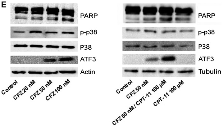 CFZ ± CPT-11 induces apoptosis by caspase 3 and CD95 upregulation, as well as p-p38 and ATF3 activation in SW620 cells. (A) The effect of CFZ ± CPT-11 on the expression of Annexin V/PI in SW620 cells. SW620 cells were treated with 20 and 50 nM CFZ alone or in combination with 50 and 100 μM CPT-11 for 48 h. The results show the percentages of apoptosis (Annexin V + /PI − ) and necrosis (Annexin V + /PI + ). (B) SW620 cells were treated with the indicated concentration of CFZ ± CPT-11 for 48 h, and cell death was determined by Annexin V/PI (part of the data from Fig. 5A; bars, SD, n=3). * P