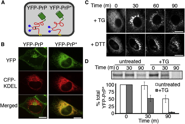 ER Stress Induces Rapid Relocalization and Degradation of ER-Retained Misfolded PrP (A) Diagrams of YFP-tagged wild-type PrP (YFP-PrP) and YFP-tagged misfolded PrP (YFP-PrP ∗ ) depicting the GPI-anchor (yellow), two N-linked glycans (blue), the disulfide bond (black), and the YFP-tag (green). YFP-PrP ∗ lacks the intramolecular disulfide bond. (B) Steady-state localization of YFP-PrP (left) and YFP-PrP ∗ (right). CFP-KDEL marks the ER. (C) Time-lapse images of YFP-PrP ∗ -expressing cells after treatment with thapsigargin (TG, top) or with dithiothreitol (DTT, bottom) (D) Steady-state chase experiment performed using YFP-PrP ∗ -expressing cells. The top panel shows an autoradiograph of YFP-PrP ∗ immunoprecipitations from a representative experiment, and the bottom panel shows quantification from multiple experiments (mean ± SE; n = 4). Scale bars, 10 μm. See also Movies S1 and S2 and Figure S1 .