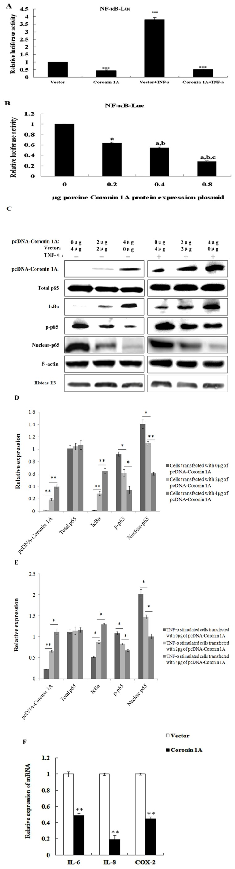 Reduction of NF-κB activation when porcine Coro1A was overexpressed. (A) PK-15 cells were co-transfected with the pNF-κB-luc reporter plasmid (0.2 µg), pRL-TK plasmid (0.05 µg), along with 0.6 µg of the expression plasmid encoding porcine Coro1A protein. Selected cells were stimulated by 20 ng/ml TNF-α at 18 h post-transfection, and cell extracts were prepared for the dual-luciferase activity at 6 h after this treatment. *** P