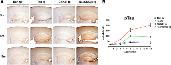 Comparison of effects of aging on p-Tau in non-tg single tg and Tau/GSK3β bigenic mice. (A) Representative images of immunohistochemical analysis with the p-Tau (AT8) in the neocortex and hippocampus in the non-tg, single tg and Tau/GSK3β bigenic mice at 3, 6 and 12 months of age. (B) Image analysis of optical density in the hippocampus represented as a line graph in the non-tg, single tg and Tau/GSK3β bigenic mice at 3, 6 and 12 months of age. Scale bar = 250 μm, in lower panels = 250 μm. Error bars represent mean ± SEM (n = 6 per age and genotype).