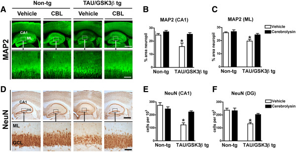 Effect of CBL on neuropathological alterations in <t>Tau/GSK3β</t> bigenic mice. (A) Immunohistochemical analysis of dendritic pathology as evidenced by MAP2 immunoreactivity in the hippocampus of vehicle and CBL treated Tau/GSK3β bigenic mice in comparison to non-tg mice. Boxes in upper panels are represented at higher magnification in the lower panels. (B) Quantitative analysis of MAP2 immunoreactivity in the CA1 region of the hippocampus of vehicle and CBL treated Tau/GSK3β bigenic mice in comparison to non-tg mice. (C) Quantitative analysis of MAP2 immunoreactivity in the molecular layer (ML) of the dentate gyrus of the hippocampus of vehicle and CBL treated Tau/GSK3β bigenic mice in comparison to non-tg mice. (D) Immunohistochemical analysis neuronal density as evidenced by NeuN immunoreactivity in the hippocampus of vehicle and CBL treated Tau/GSK3β bigenic mice in comparison to non-tg mice. Boxes in upper panels are represented at higher magnification in the lower panels. (E) Quantitative analysis of NeuN immunoreactivity in the CA1 region of the hippocampus the hippocampus of vehicle and CBL treated Tau/GSK3β bigenic mice in comparison to non-tg mice. (F) Quantitative analysis of NeuN immunoreactivity in the molecular layer of the dentate gyrus of the hippocampus of vehicle and CBL treated Tau/GSK3β bigenic mice in comparison to non-tg mice. (A, D) Scale bar in upper panels = 250 μm, in lower panels = 50 μm. (B, C, E, F) Error bars represent mean ± SEM (n = 6 per group, 6 m/o). *Indicates a significant difference (p